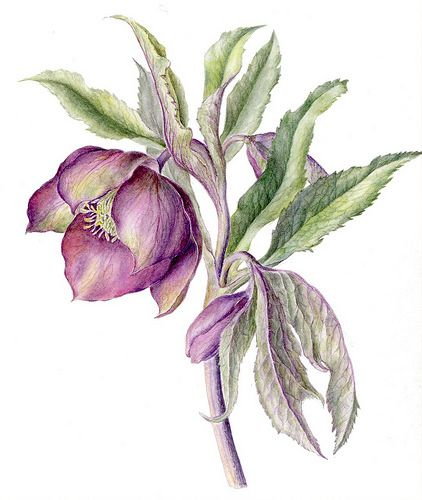botanical illustration painting with watercolours pdf